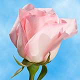 Pastel Pink Roses Choose Your Quantity From 50 to 250 Light Orlando Roses
