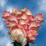 75 X Long Stems of Peach with Pink Tips, High & Sunshine Roses