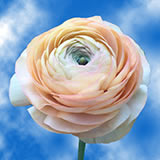 Peach Ranunculus Choose Your Quantity From 50 -150 Flowers