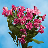120 Blooms of Hot Pink Fancy Alstroemerias 30 Stems