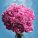 300 Stems of Pink with Hot Pink Tips, Fiesta Komac Carnations