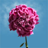 100 Stems of Pink with Hot Pink Tips, Fiesta Komac Carnations