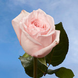 72 Pink O'Hara Garden Roses                                                              For Delivery to Florida