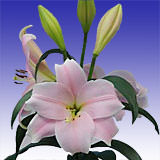 20 Stems of Pink Asiatic Lilies 80 Blooms