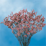 30 Stems of Pink Limoniums Flowers