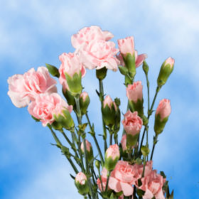 Pink Spray Carnations Choose Your Quantity From 400 - 1200 Blooms: 100 to 300 Spray Carnations