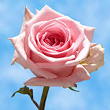 Light Pink Roses Choose Your Quantity From 12 to 400 Mother's Day Roses                                                              For Delivery to Missouri