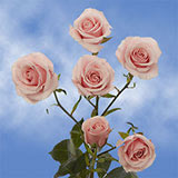 40 Stems of Pink Valentine's Day Spray Roses 160 Blooms                                                              For Delivery to Delaware