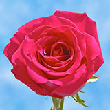 Valentine's Day Hot Pink Roses Choose Your Quantity From 1 to 250 Roses