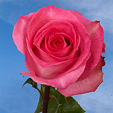 Deep Pink Roses Choose Your Quantity From 50 to 250 Priceless Roses