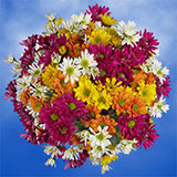72 Stems of Assorted Color Daisy Pom Poms 288 Blooms