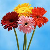 120 Stems of Assorted Color Gerberas