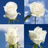 100 Assorted White Roses