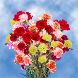 160 Stems of Assorted Color Spray Carnations 640 Blooms