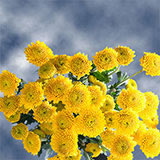 72 Stems of Yellow Button Pom Poms 288 Blooms