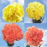 200 Stems of Fall Color Carnations