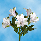 100 Stems of Fancy White Alstroemerias 400 Blooms                                                              For Delivery to Idaho