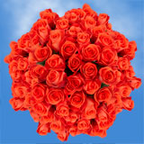 100 Stems of Salmon Orange with Dark Pink Tips, Wow Roses                                                              For Delivery to Missouri