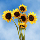 25 Stems of Sunflowers Brown Center                                                              For Delivery to New_Hampshire