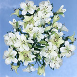 40 Stems of White Asiatic Lilies 160 Blooms