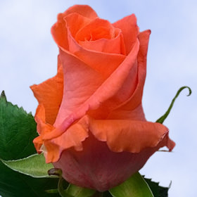 Coral Dark Orange Roses Choose Your Quantity From 50 to 250 Marjan Roses