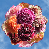 100 Stems of Assorted Bi-Color Carnations