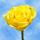 Pure Yellow Roses Choose Your Quantity From 50 to 250  Bikini Roses