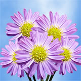 240 Blooms of Purple Asters Flowers 60 Stems                                                              For Delivery to Louisiana