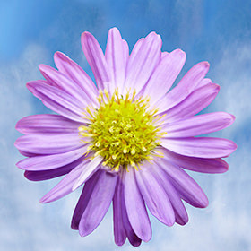 Purple Aster Flowers Choose Your Quantity From 60 - 220 Flowers