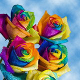 50 Stems of Your Choice Rainbow Roses                                                              For Delivery to Alaska