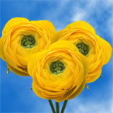 50 Yellow Ranunculus                                                               For Delivery to Oklahoma