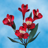 240 Blooms of Red Select Alstroemerias 60 Stems                                                              For Delivery to Kentucky