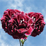 200 Dark Red with White Outer Petals Carnations