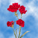 100 Stems of Red Spray Carnations 400 Blooms