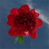 40 Stems of Red Peonies