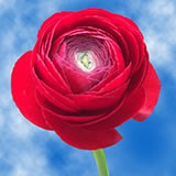 150 Red Ranunculus                                                              For Delivery to Hawaii