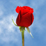 60 Valentine's Day Single Red Rose Bouquet