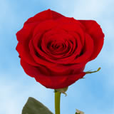 Valentine's Day Red Roses Choose Your Quantity From 1 to 500 Roses                                                              For Delivery to North_Dakota