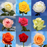 100 Roses Your Choice of Up to 4 Colors