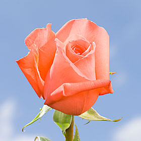 Light Orange Roses Choose Your Quantity From 50 to 250  Movie Star Roses