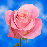 Soft Pink Roses Choose Your Quantity From 50 to 250 Hermosa Roses