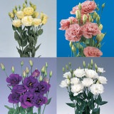 80 Stems of Assorted Color Lisianthus 320 Blooms                                                              For Delivery to Goose_Creek, South_Carolina