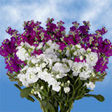 100 Stems of Assorted Color Spray Stocks 800 Blooms                                                              For Delivery to Kansas