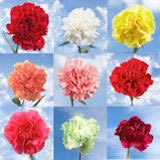 100 Stems of Carnations Your Choice of Up to 4 Colors