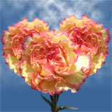 200 Stems of Cream with Pink Edges, Komachy Carnations