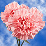 100 Stems of Pink Carnations