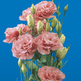 80 Stems of Pink Lisianthus 320 Blooms