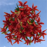 40 Stems of Red Asiatic Lilies 160 Blooms