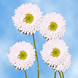 100 Stems of White Asters Matsumoto 400 Blooms