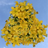 40 Stems of Yellow Asiatic Lilies 160 Blooms
